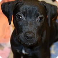 Adopt A Pet :: Caylie - Union, CT