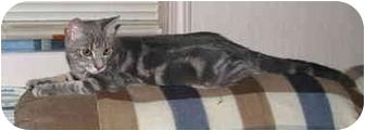 Domestic Shorthair Kitten for adoption in Norwich, New York - Jamie