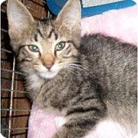 Domestic Shorthair Kitten for adoption in Schertz, Texas - Trevor