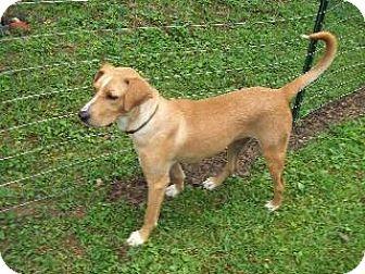 Labrador Retriever/Labrador Retriever Mix Dog for adoption in Morehead, Kentucky - Thunder