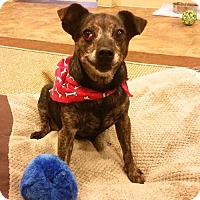 Rat Terrier/Chihuahua Mix Dog for adoption in Potomac, Maryland - Nora