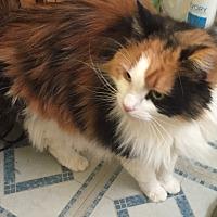 Adopt A Pet :: Tiger Lilly - Hampton, VA