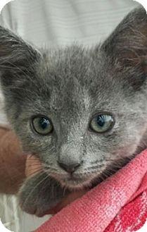 Domestic Shorthair Kitten for adoption in North Highlands, California - Kiley