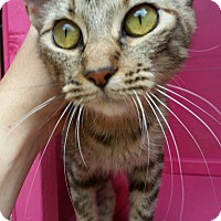 Domestic Shorthair Cat for adoption in Ocala, Florida - ARIA