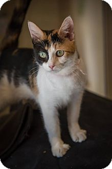Domestic Shorthair Cat for adoption in Madionsville, Kentucky - Aliyah