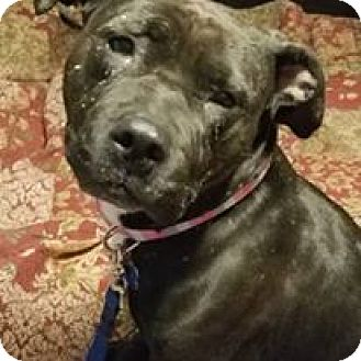Pit Bull Terrier Mix Dog for adoption in Pataskala, Ohio - Bailey (adoption pending)