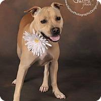 Staffordshire Bull Terrier Mix Dog for adoption in Phoenix, Arizona - Daisy