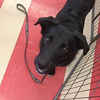 Labrador Retriever Mix Puppy for adoption in Smithtown, New York - Ralphy
