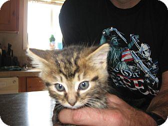 Domestic Shorthair Kitten for adoption in Fallon, Nevada - Dean