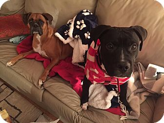 Staffordshire Bull Terrier Mix Puppy for adoption in Villa Park, Illinois - Dude