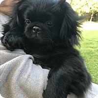 Adopt A Pet :: Little Bear - Jennings, OK