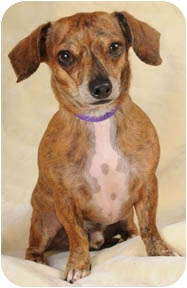 Dachshund/Chihuahua Mix Dog for adoption in Johnsburg, Illinois - Moe
