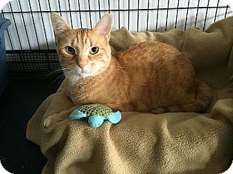 Domestic Shorthair Cat for adoption in Speonk, New York - Everett