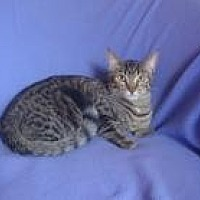 Bengal Cat for adoption in Sarasota, Florida - Scarlet