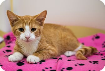 Domestic Shorthair Kitten for adoption in Charlotte, North Carolina - A..  Ozark