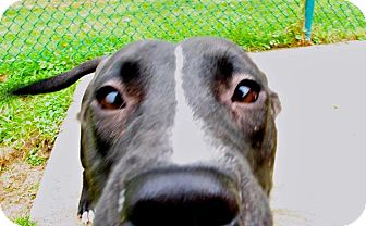 American Staffordshire Terrier/Terrier (Unknown Type, Medium) Mix Dog for adoption in Troy, Michigan - Gleep