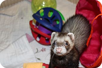 Ferret for adoption in Chantilly, Virginia - Eddie