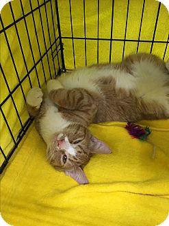 Domestic Shorthair Kitten for adoption in Richmond, Virginia - Tripp