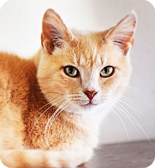 Domestic Shorthair Cat for adoption in Xenia, Ohio - Erica