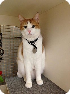 Domestic Shorthair Cat for adoption in Edmond, Oklahoma - Candace