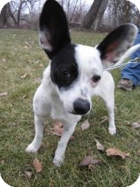 Chihuahua/Terrier (Unknown Type, Small) Mix Dog for adoption in Bellingham, Washington - Dominoe
