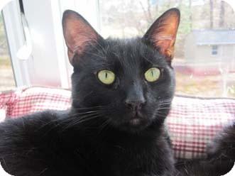 Domestic Shorthair Cat for adoption in Merrifield, Virginia - Valero