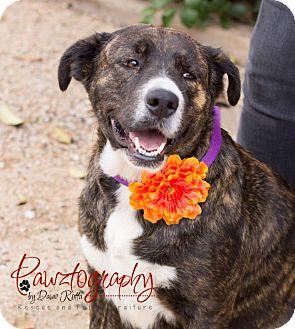 Plott Hound Mix Dog for adoption in Gilbert, Arizona - Georgia