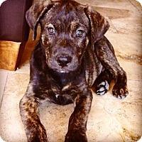 Adopt A Pet :: Hensley - Gilbert, AZ