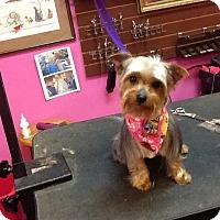 Adopt A Pet :: Mia-ADOPTION PENDING - Bridgeton, MO
