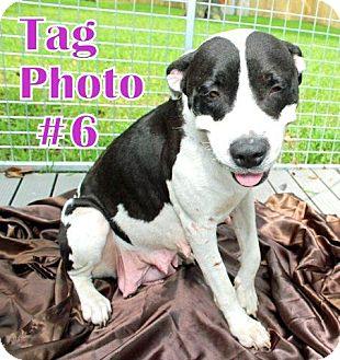 Labrador Retriever Mix Dog for adoption in Humble, Texas - TAG