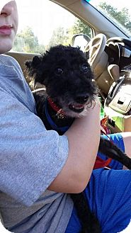 Poodle (Miniature)/Scottie, Scottish Terrier Mix Dog for adoption in Shaw AFB, South Carolina - Paxey