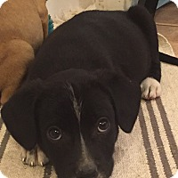 Adopt A Pet :: John Lennon - Woodland, CA