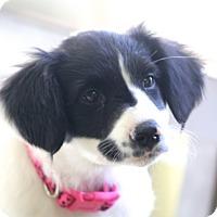 Adopt A Pet :: Betty - Norwalk, CT
