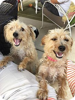 Terrier (Unknown Type, Small) Mix Dog for adoption in Tijeras, New Mexico - Violet