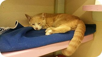 Domestic Shorthair Kitten for adoption in Westbury, New York - Anthony