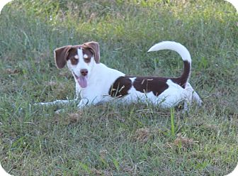 Brittany Mix Dog for adoption in Harmony, Glocester, Rhode Island - Owl
