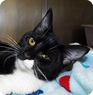 Domestic Shorthair Cat for adoption in Grants Pass, Oregon - CeCe