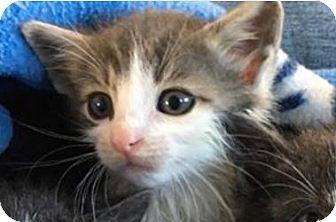 Domestic Shorthair Kitten for adoption in Wayne, New Jersey - Wrigley