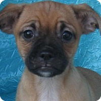 Adopt A Pet :: Queen Elizabeth Bassett Buddy - Cuba, NY