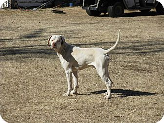 English Pointer Mix Dog for adoption in Childress, Texas - Caeser