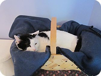 Domestic Shorthair Cat for adoption in Southbury, Connecticut - Mr. Beans