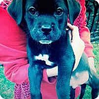 Adopt A Pet :: baby thunder - Marlton, NJ