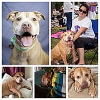 American Pit Bull Terrier Mix Dog for adoption in Medford, New Jersey - Suede