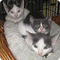 Adopt A Pet :: Andromeda - Dallas, TX