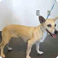 Adopt A Pet :: Shani - Los Angeles, CA