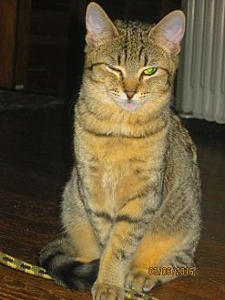 Domestic Mediumhair Kitten for adoption in Asheville, North Carolina - Fox