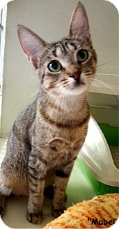 Domestic Shorthair Cat for adoption in Key Largo, Florida - Mabel