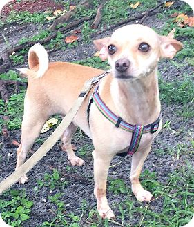 Chihuahua Mix Dog for adoption in Boca Raton, Florida - Weegee