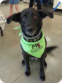 Border Collie Mix Dog for adoption in Chesapeake, Virginia - Sheba