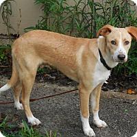 Adopt A Pet :: Scuppers - Ormond Beach, FL